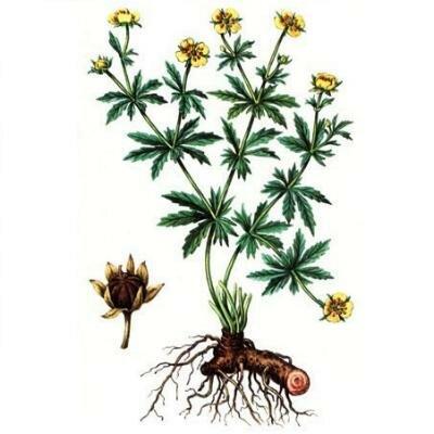 Какое растение называют лапчатка прямостоячая? Inurl index PHP do register